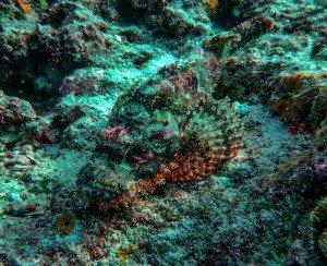 рыба-скорпион3
