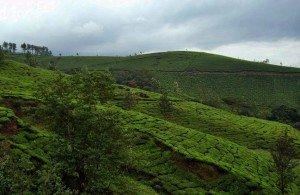 plantations_4b_(tea_plantations)