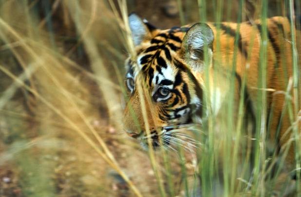 tigersafairnye